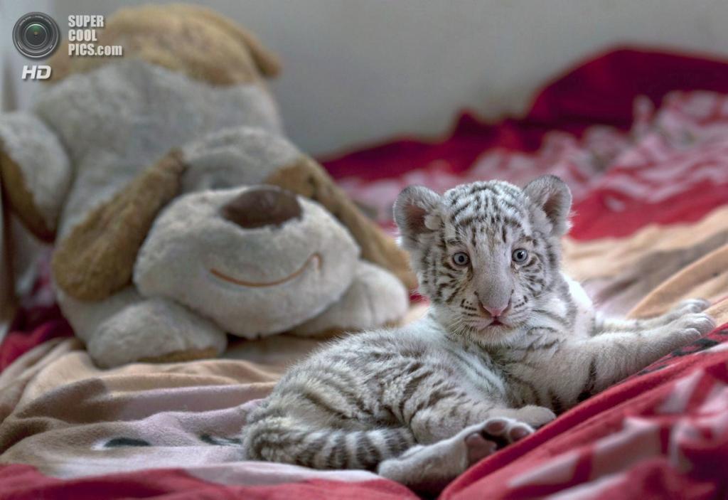Перу. Лима. Детёныш бенгальского тигра в частном зоопарке Уачипа. (AP Photo/Martin Mejia)