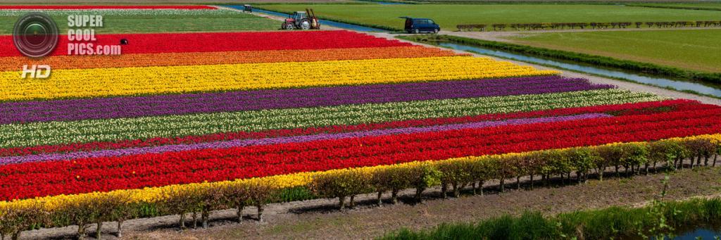 Тюльпаны. (jasonhedlund)