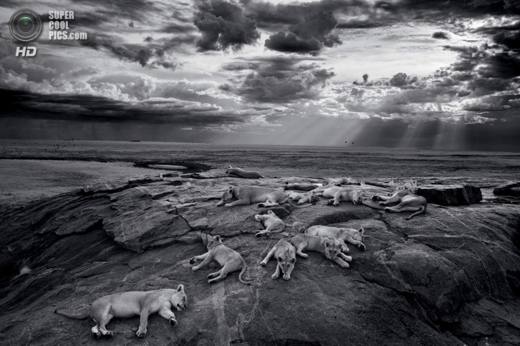 Танзания. Серенгети. Прайд Вумби на скалистом холмике у водопоя. Львы используют такие места в качестве убежищ и обзорных пунктов. Когда приходит сезон дождей, сюда прибывают огромные стада антилоп гну. (Michael Nichols/National Geographic)