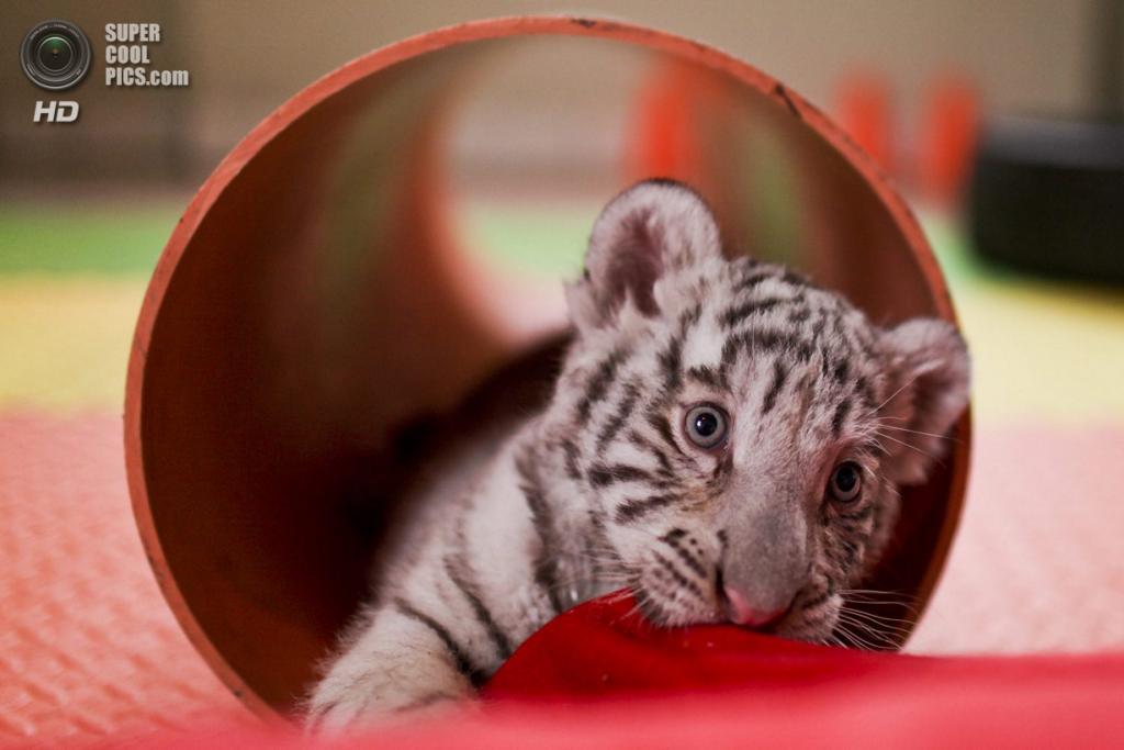 Перу. Лима. Детёныш бенгальского тигра в частном зоопарке Уачипа. (ERNESTO BENAVIDES/AFP/Getty Images)