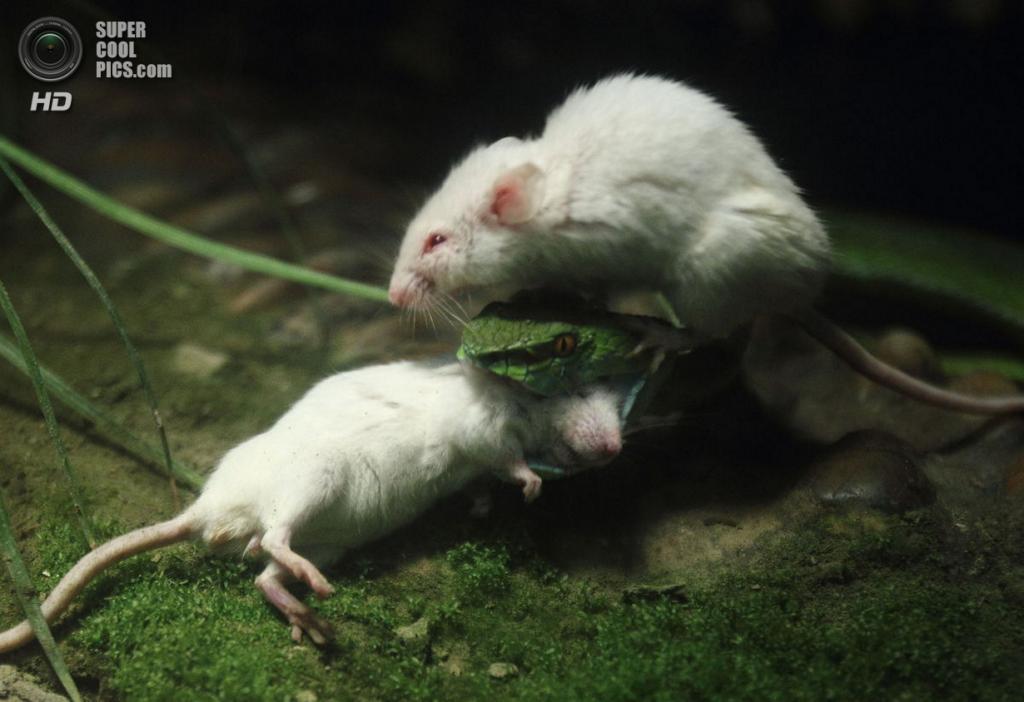 Китай. Ханчжоу, Чжэцзян. Мыши в неравной схватке со змеей. (DPA)