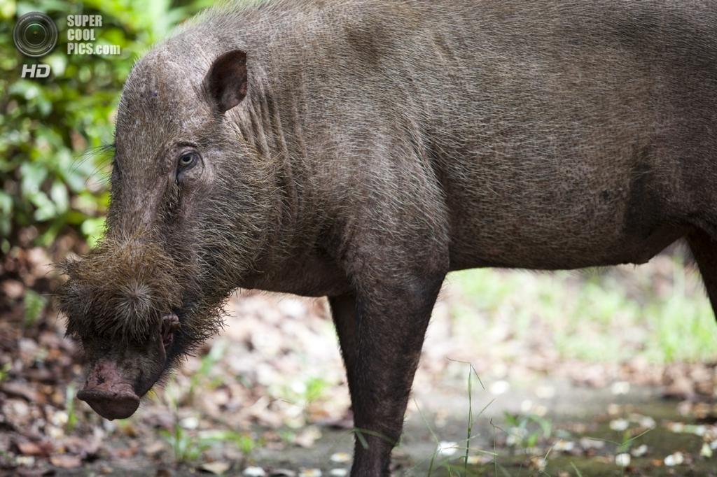 Бородатая свинья. (RarePlanet)
