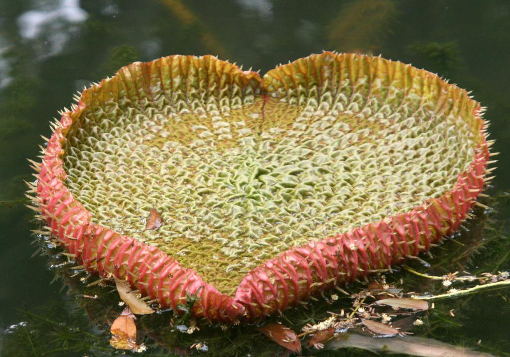 Самое большое цветковое растение на Земле (8 фото)