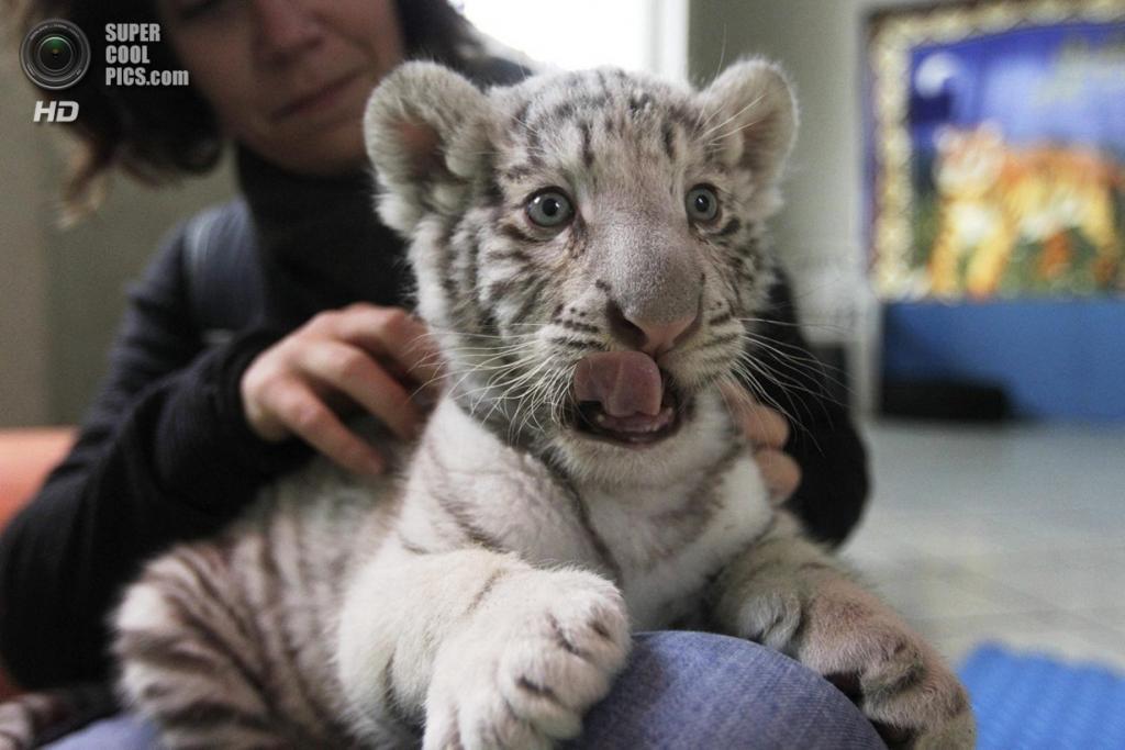 Перу. Лима. Детёныш бенгальского тигра в частном зоопарке Уачипа. (REUTERS/Mariana Bazo)
