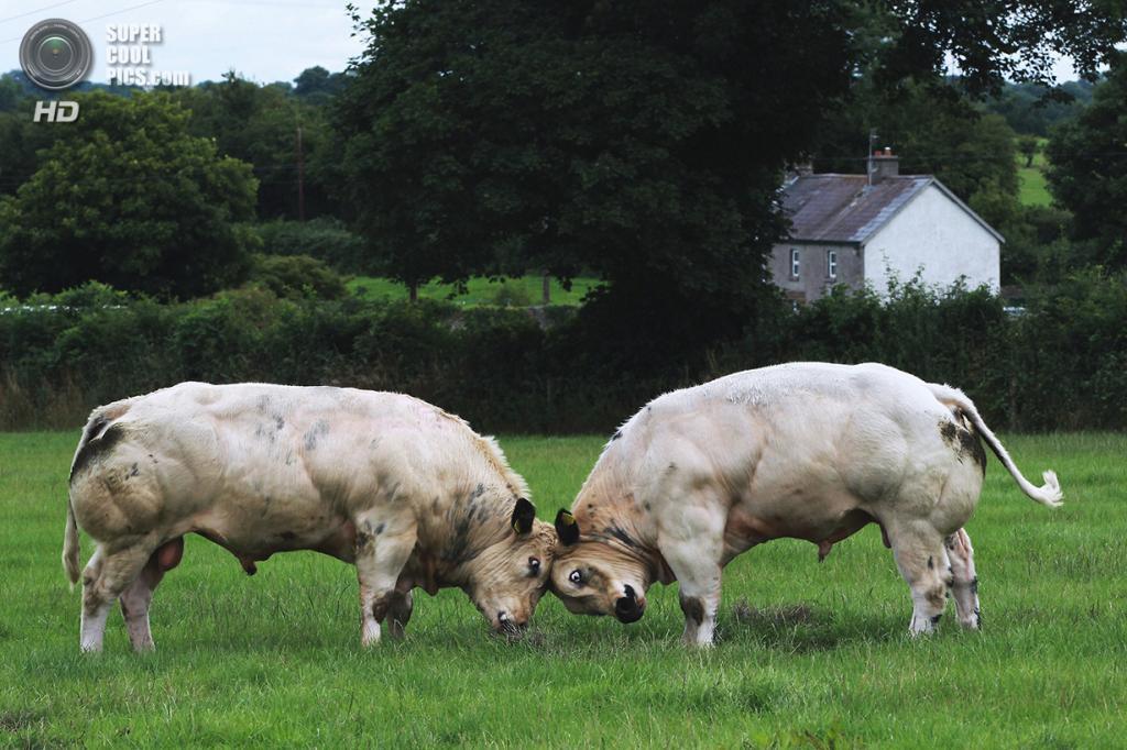 Бельгийские голубые коровы. (Jack Caffrey)