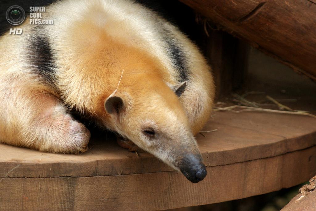 Муравьедовые. (Mehgan Murphy/Smithsonian's National Zoo)