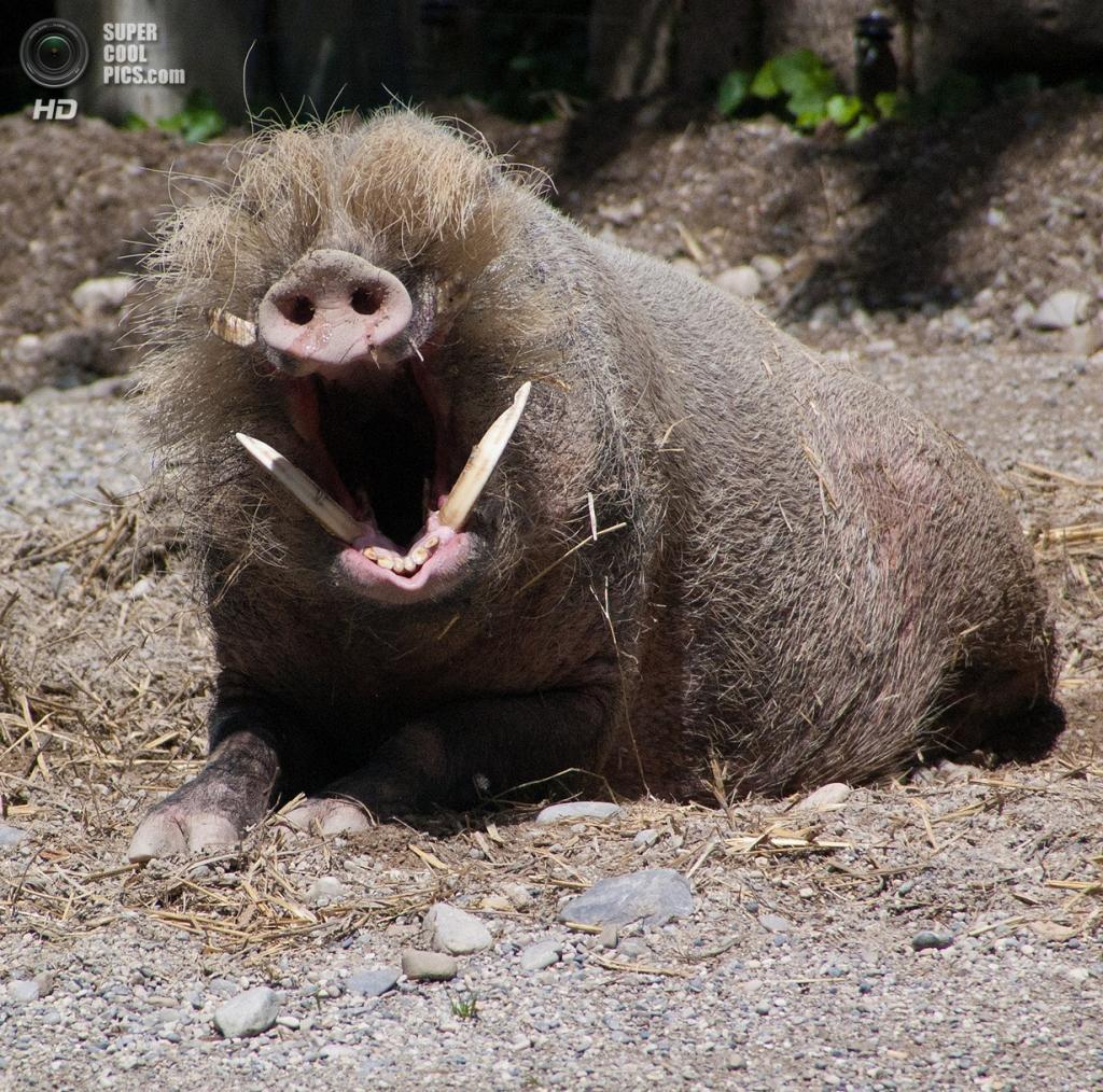 Бородатая свинья. (Nadine Wick)