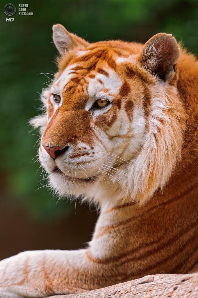 Золотой тигр. (Tambako The Jaguar)