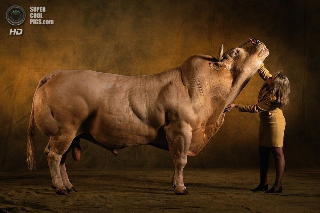 Бельгийские голубые коровы. (hoanmy1)
