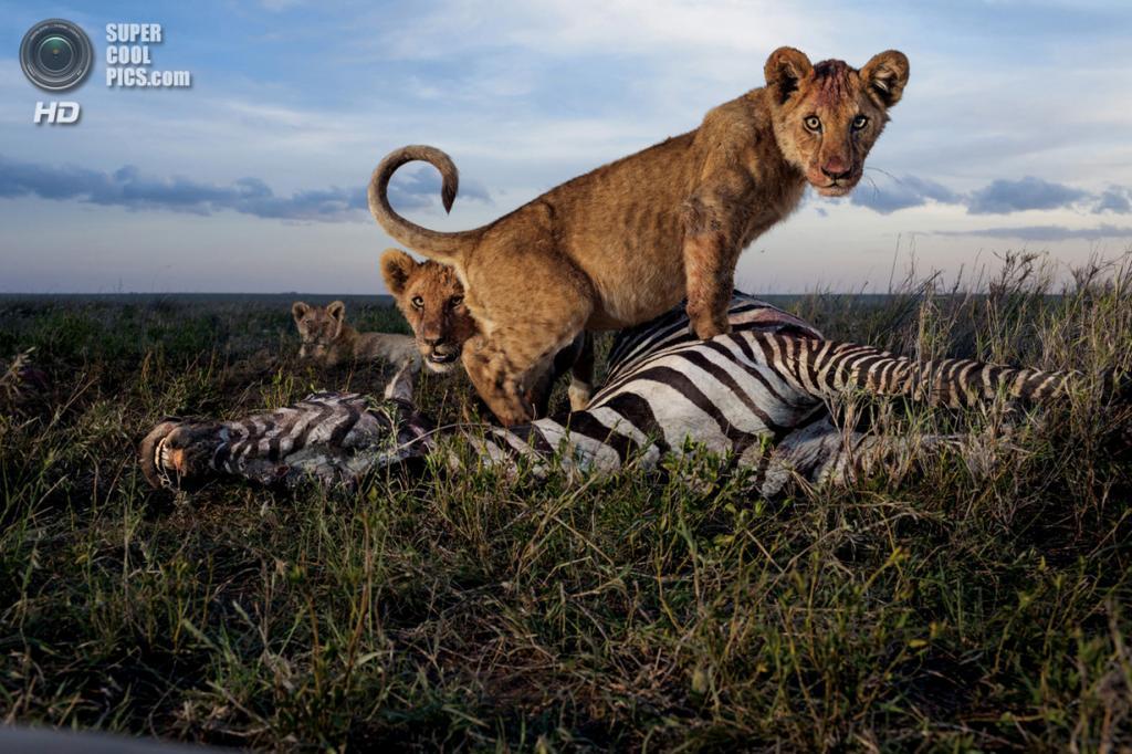 Танзания. Серенгети. Львята из прайда Восточный Симба слишком молоды, чтобы поймать зебру но уже достаточно взрослые, чтобы жаждать мяса. Взрослые самки, а иногда и самцы, охотятся ради них. Зебры и антилопы считаются первосортной добычей. (Michael Nichols/National Geographic)