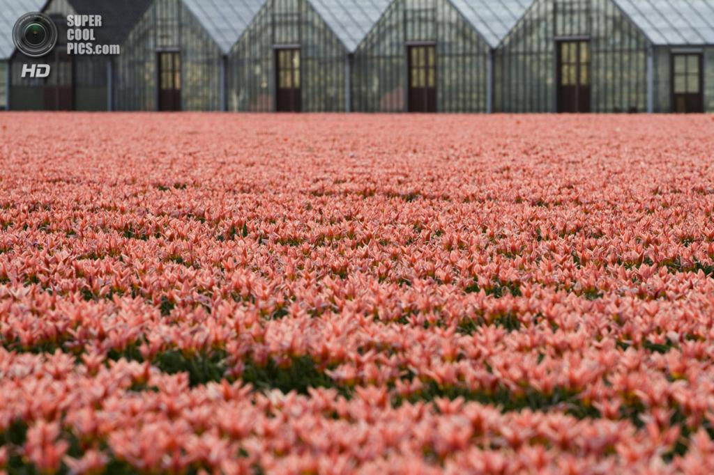 Тюльпаны. (Remon Rijper)