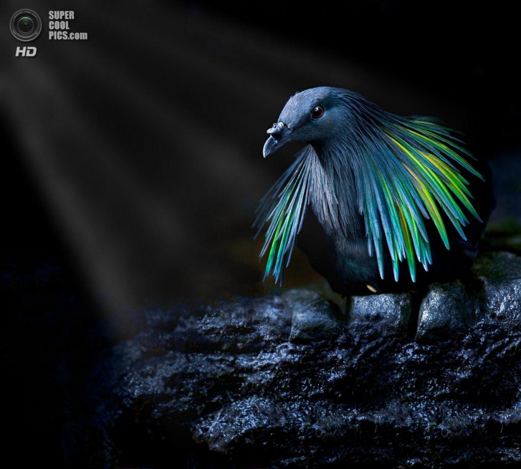 Гривистый голубь. (Sue Demetriou)