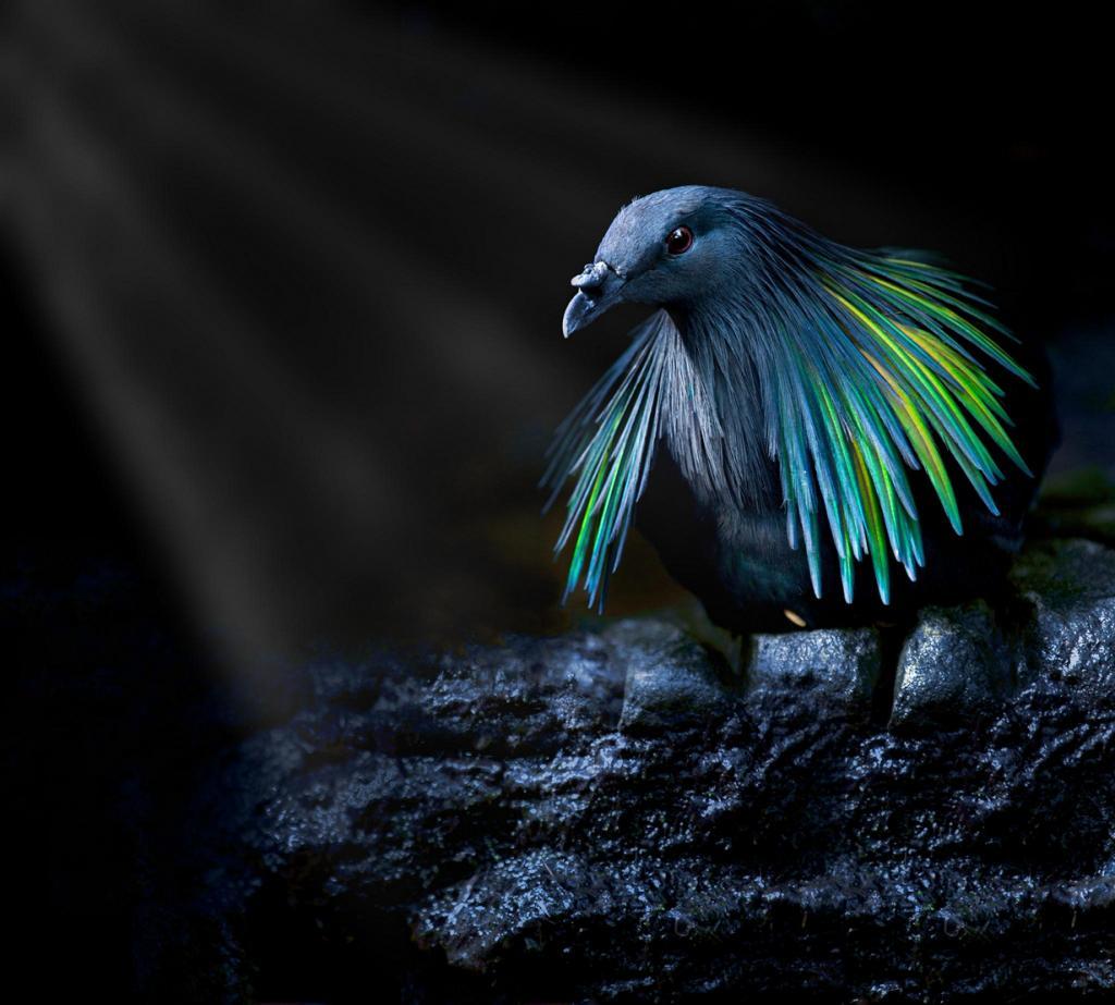 Фантастически красивый гривистый голубь (10 фото)