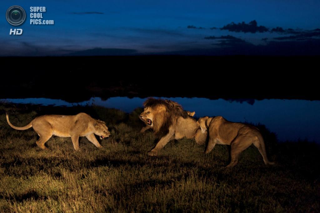 Танзания. Серенгети. Сухой сезон тяжёл для всех. Львицы из прайда Вумби, яростно и нервозно защищают своё потомство от посягательств Си-Боя, несмотря на то, что он является отцом. (Michael Nichols/National Geographic)