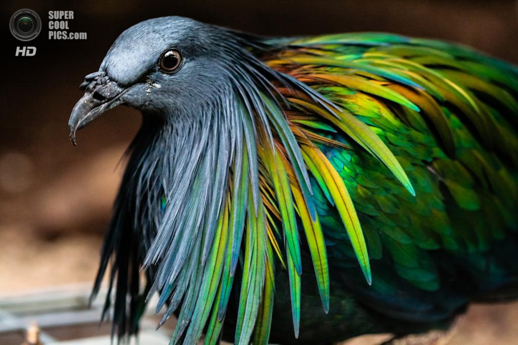 Гривистый голубь. (Silvain de Munck)