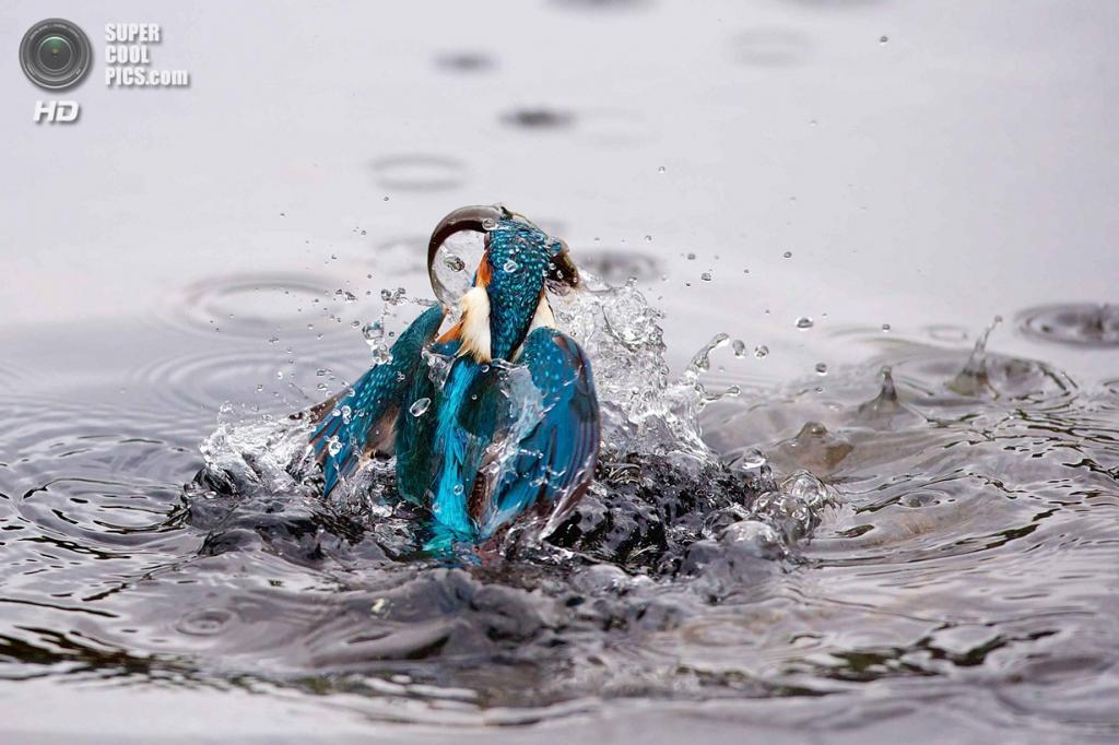 Великобритания. Уэст-Моллинг, Кент, Англия. Зимородок ловит рыбу. (Mark Bridger/Iberpress)