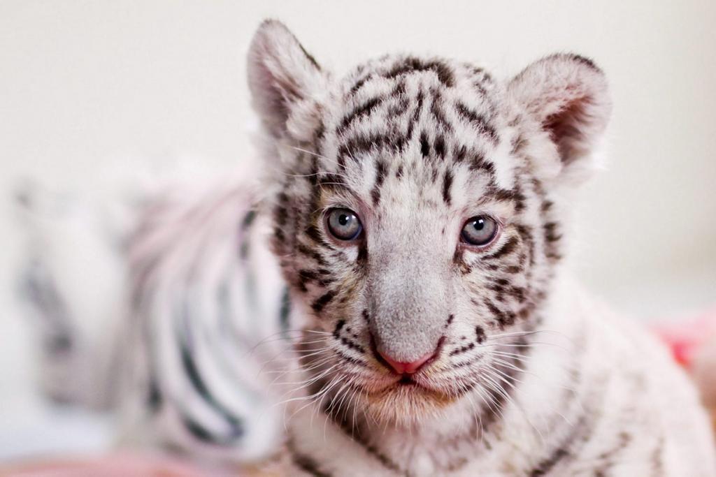 Фотосессия белого бенгальского тигрёнка (8 фото)