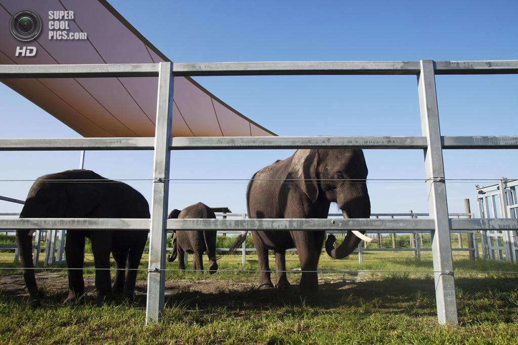 США. Феллсмер, Флорида. 2 августа. Слоны щиплют травку. (Laura McDermott/The Palm Beach Post)