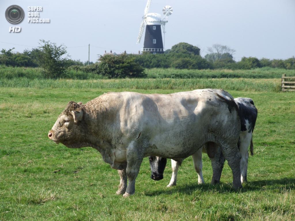 Бельгийские голубые коровы. (Broads Marshman)