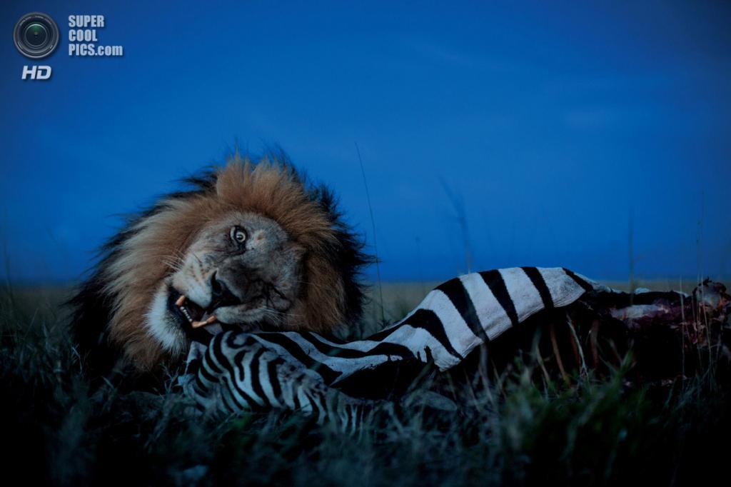 Танзания. Серенгети. Лев утверждается в своей роли главного. Си-Бой ест зебру, пока львицы из прайда Вумби и их потомство ждут поблизости своей очереди. (Michael Nichols/National Geographic)