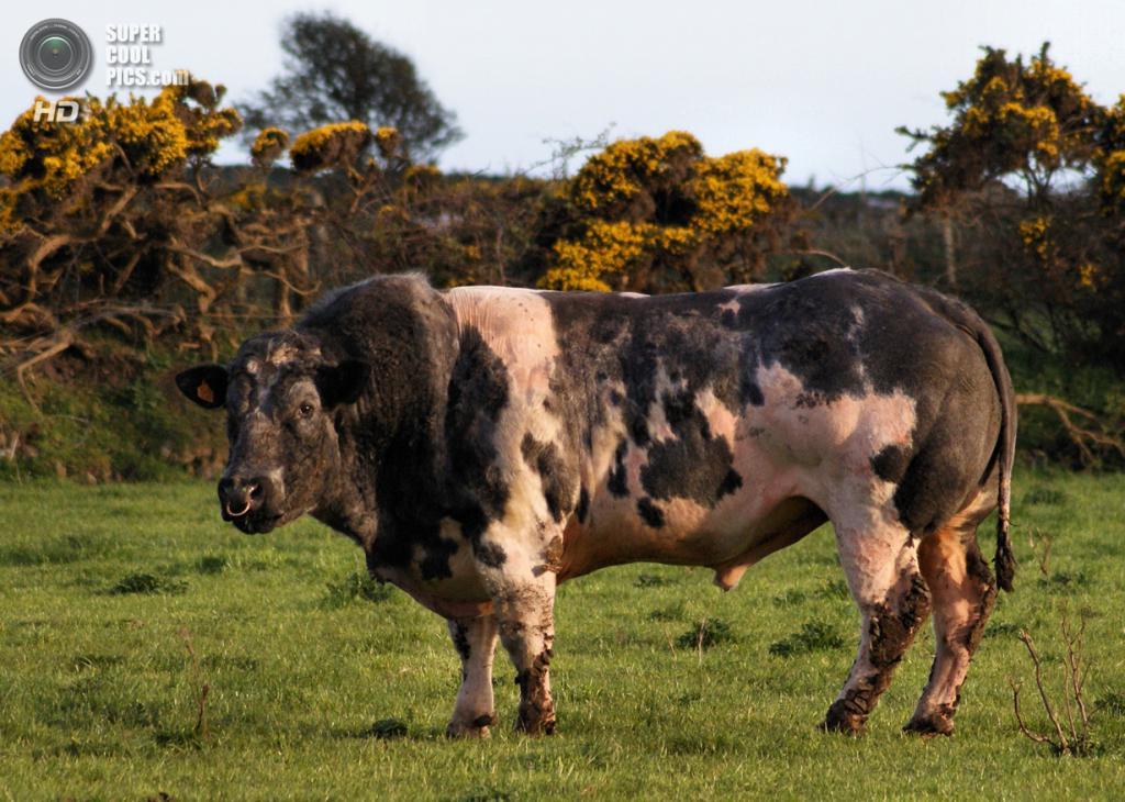 Бельгийские голубые коровы. (Jay Krow)