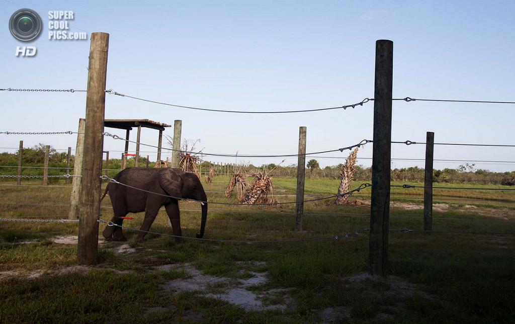 США. Феллсмер, Флорида. 2 августа. Цаво гуляет по территории Национального центра слонов. (Laura McDermott/The Palm Beach Post)