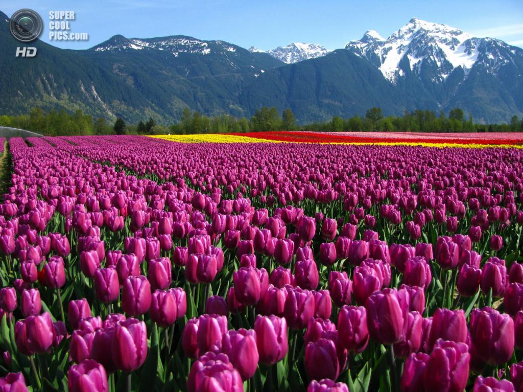Тюльпаны. (Dru!)