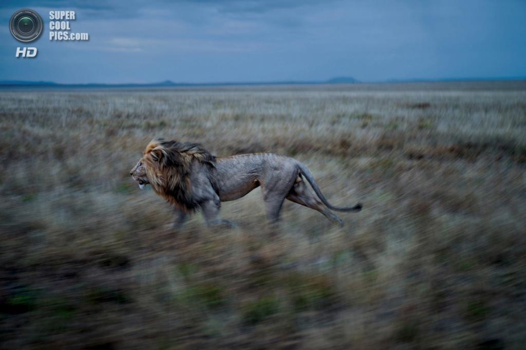 Танзания. Серенгети. Хильдур — партнёр Си-Боя — часто делает длительные отлучки для посещения самок из прайда Восточного Симба. Коалиция, управляющая двумя прайдами, должна сохранять бдительность в отношении обоих. (Michael Nichols/National Geographic)