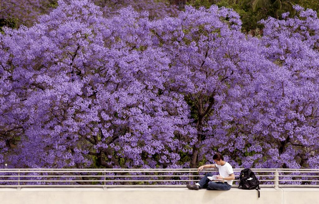 Jacaranda blooms and studier