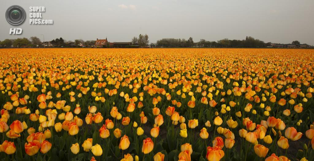 Тюльпаны. (klavier_girl)
