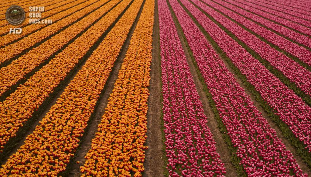 Тюльпаны. (David Bonting)