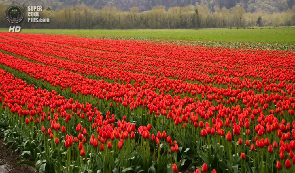 Тюльпаны. (James Wheeler)