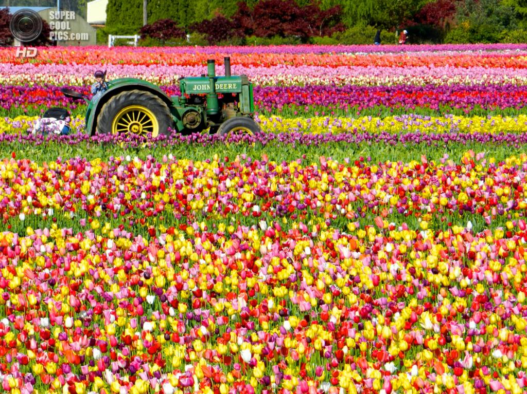 Тюльпаны. (outdoorPDK)