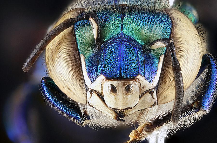 Орхидная пчела Euglossa dilemma в Национальном парке Бискейн, штат Флорида. (Sam Droege)