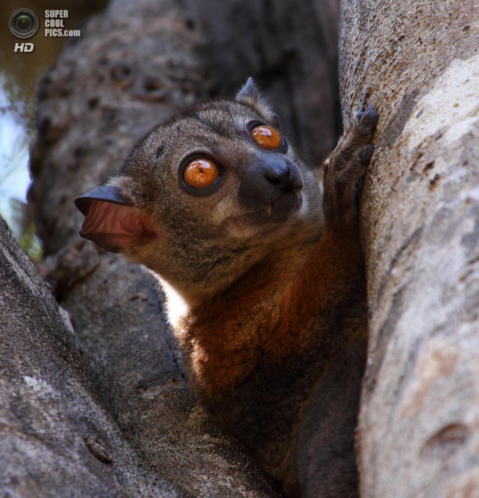 Мадагаскар. Один из жителей заповедника Цинжи-дю-Бемараха. (Emma Smart)