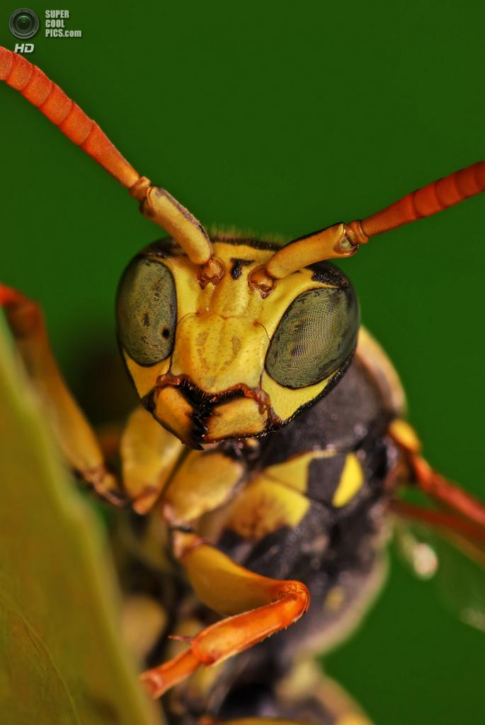 Оса Polistes dominula. (Photo by Boris Godfroid)