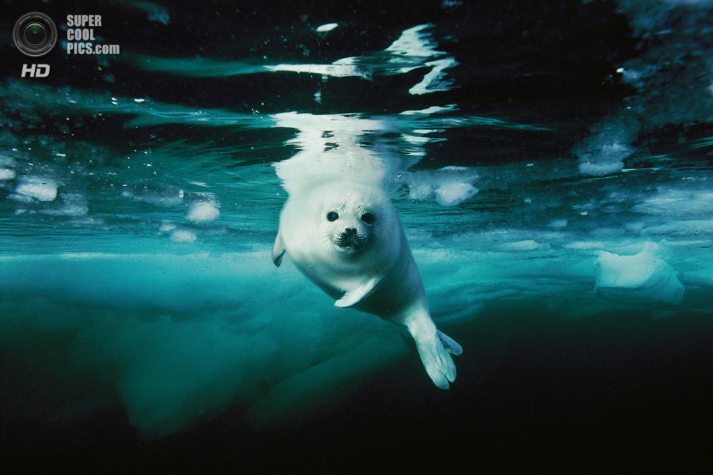 Гренландский тюлень. (Brian Skerry/National Museum of Natural History)