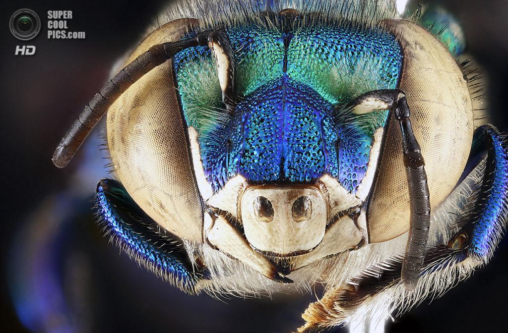 Орхидная пчела Euglossa dilemma. (Sam Droege)