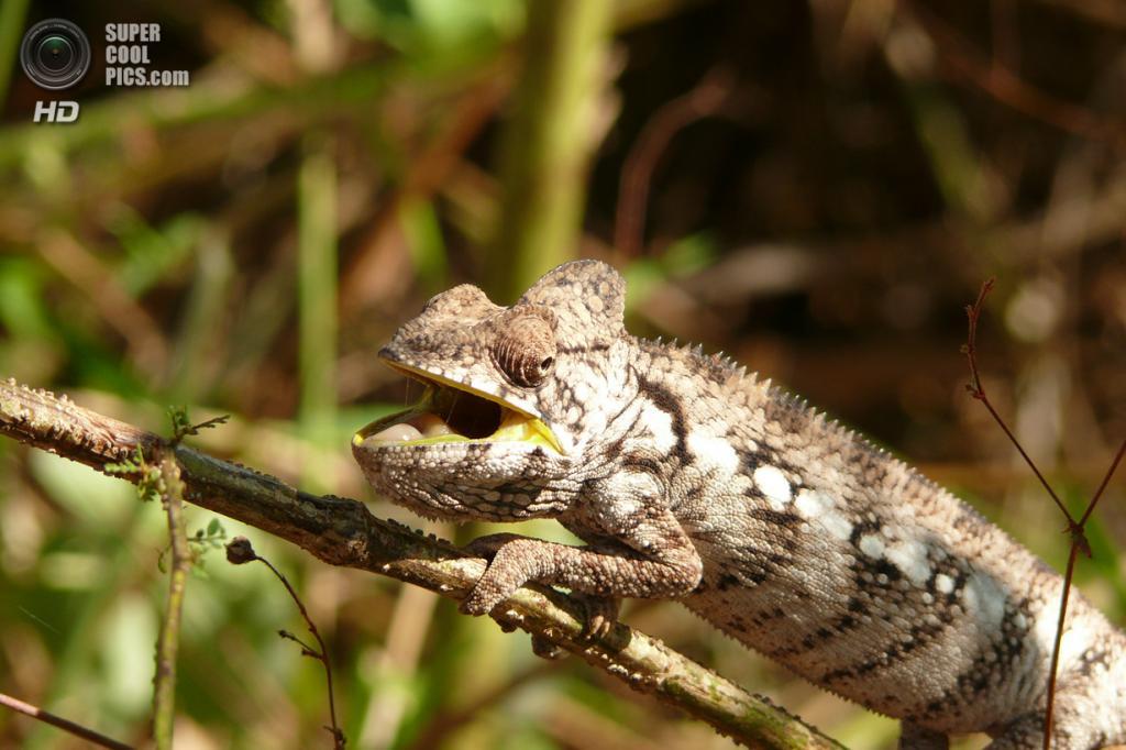 Мадагаскар. Один из жителей заповедника Цинжи-дю-Бемараха. (Rita Willaert)