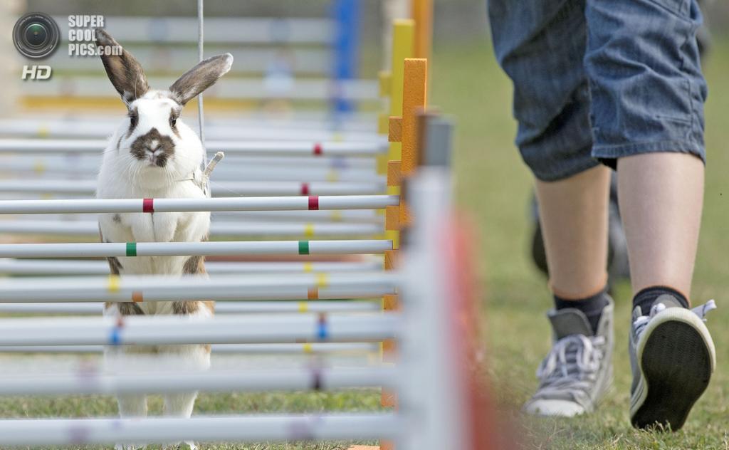 Германия. Рёденталь, Бавария. 1 сентября. Во время кроличьих прыжков — шуточном состязании для кроликов. (AP Photo/Jens Meyer)
