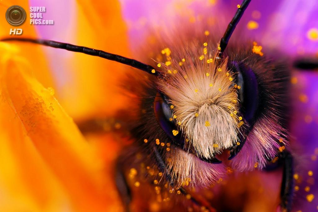 Пчела. (Boris Godfroid)