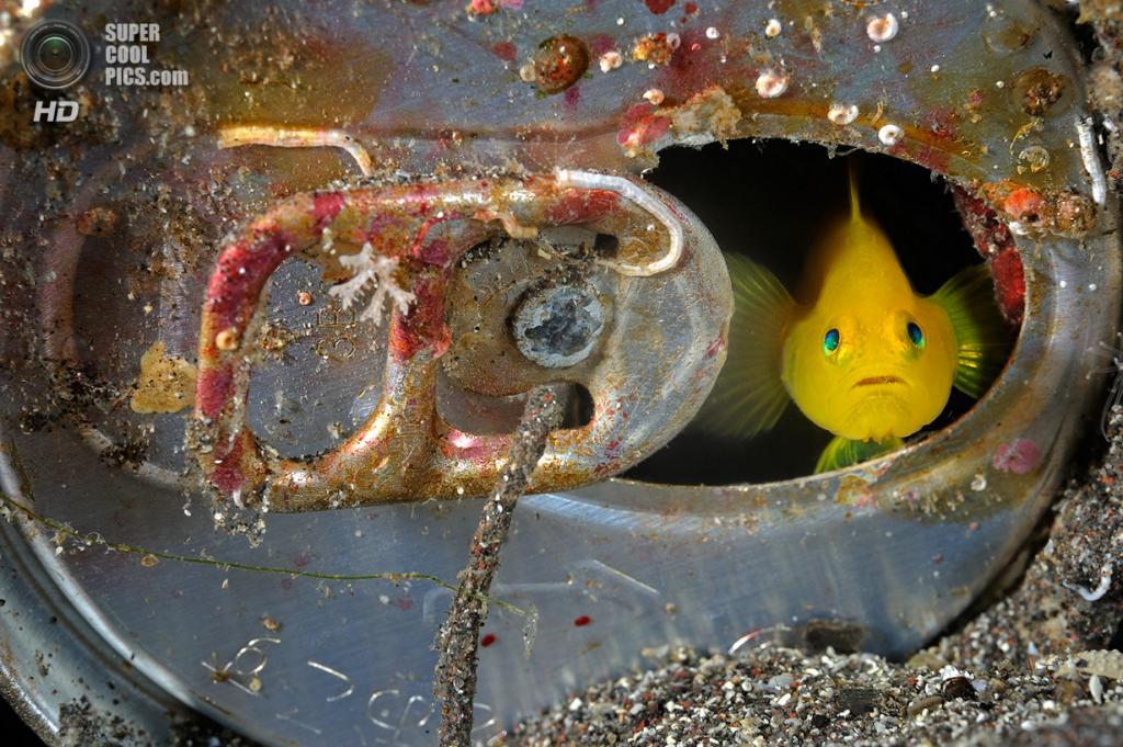 Жёлтый бычок. (Brian Skerry/National Museum of Natural History)