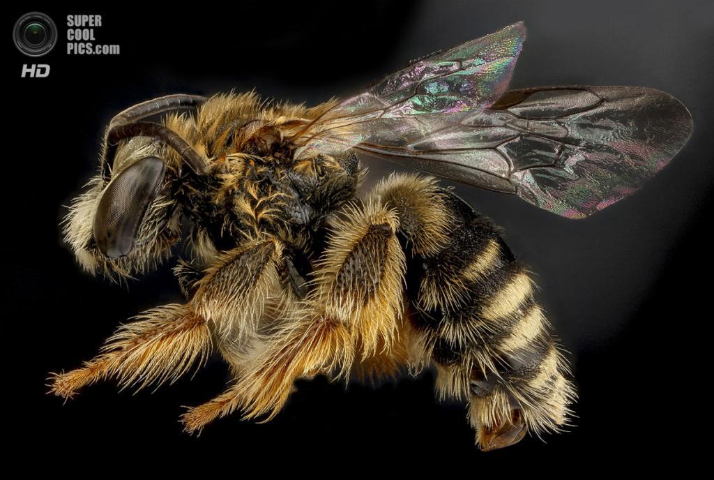 Пчела Exomalopsis analis. (Sam Droege)