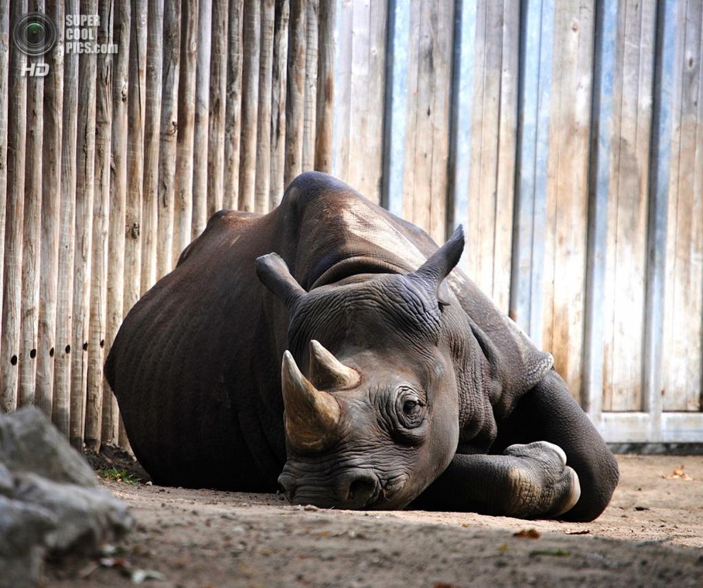 Носороговые. (Angella Day)