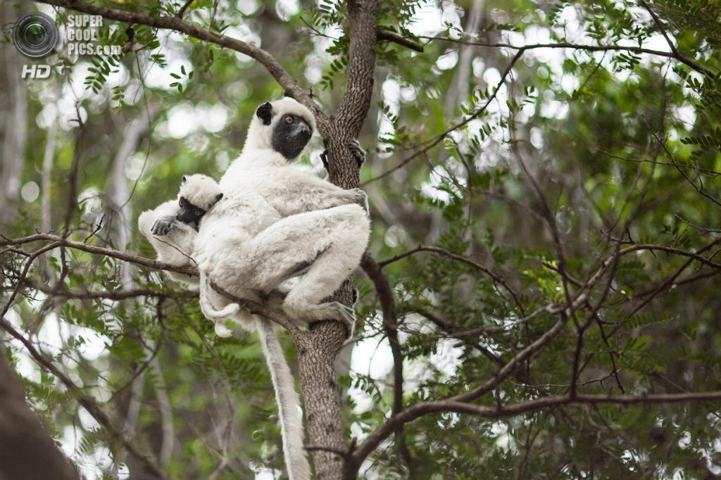 Мадагаскар. Жители заповедника Цинжи-дю-Бемараха. (Ralph Kränzlein)
