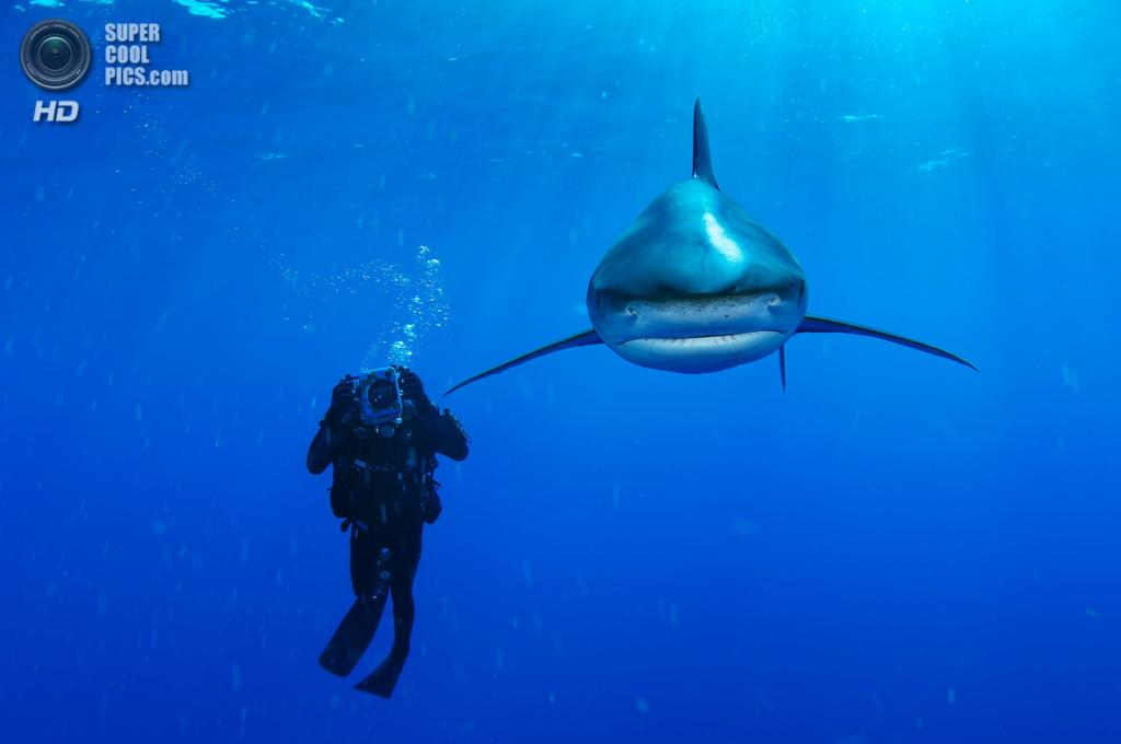 Длиннокрылая акула. (Brian Skerry/National Museum of Natural History)
