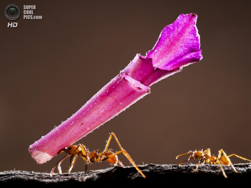 «Гигантский трофей для маленького муравья». Категория «Size Matters», победитель. (Bence Mate)
