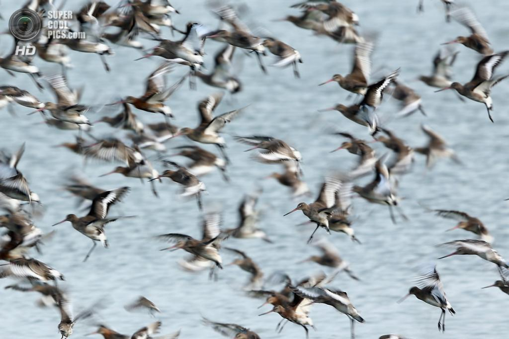Великобритания. Снеттишам, Норфолк, Англия. 9 сентября. «Снеттишамское зрелище» — мириады птиц у залива Уош. (Dan Kitwood/Getty Images)