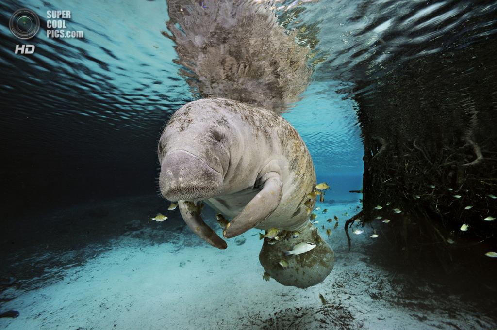 Американский ламантин. (Brian Skerry/National Museum of Natural History)