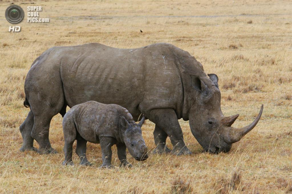 Носороговые. (Paul Garrett)